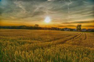 wheat field during sunrise