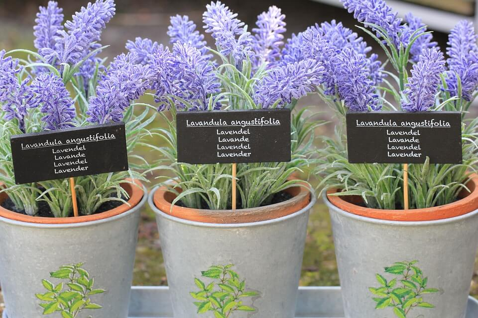 plants-that-help-sleep-lavender